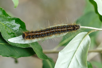 Eastern tent caterpillar consuming a leaf.