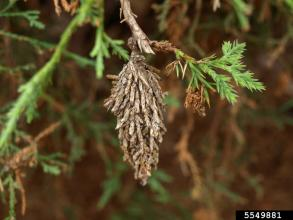 Common bagworm, Eric Rebek, Oklahoma State University, via Bugwood.org