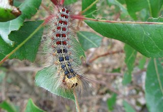 Gypsy moth caterpillar eating a leaf.