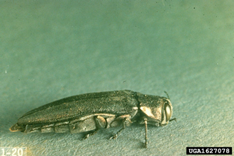 Bronze birch borer adult