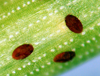 Close up of pine needle scale crawlers, photo credit Howard Russell, MSU Diagnostic Services