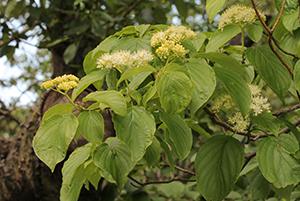 Photo for species Cornus_alternifolia