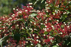 Photo for species Cornus_racemosa