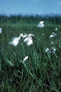 Photo for species Eriophorum_angustifolium