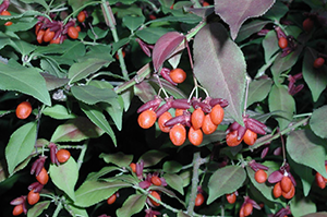 Photo for species Euonymus_alatus