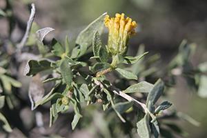 Photo for species Flourensia_cernua