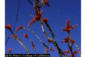 Photo for species Fouquieria_splendens
