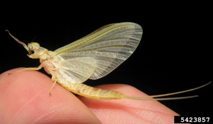 Photo for species Hexagenia_limbata