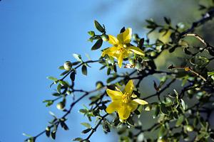Photo for species Larrea_tridentata
