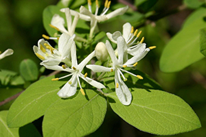 Photo for species Lonicera_morrowii