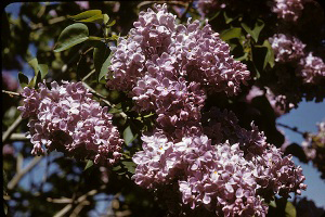 Photo for species Syringa_vulgaris