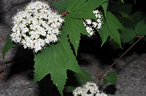 Photo for species Viburnum_acerifolium