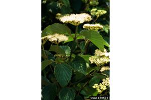Photo for species Viburnum_dentatum