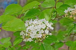 Photo for species Viburnum_prunifolium